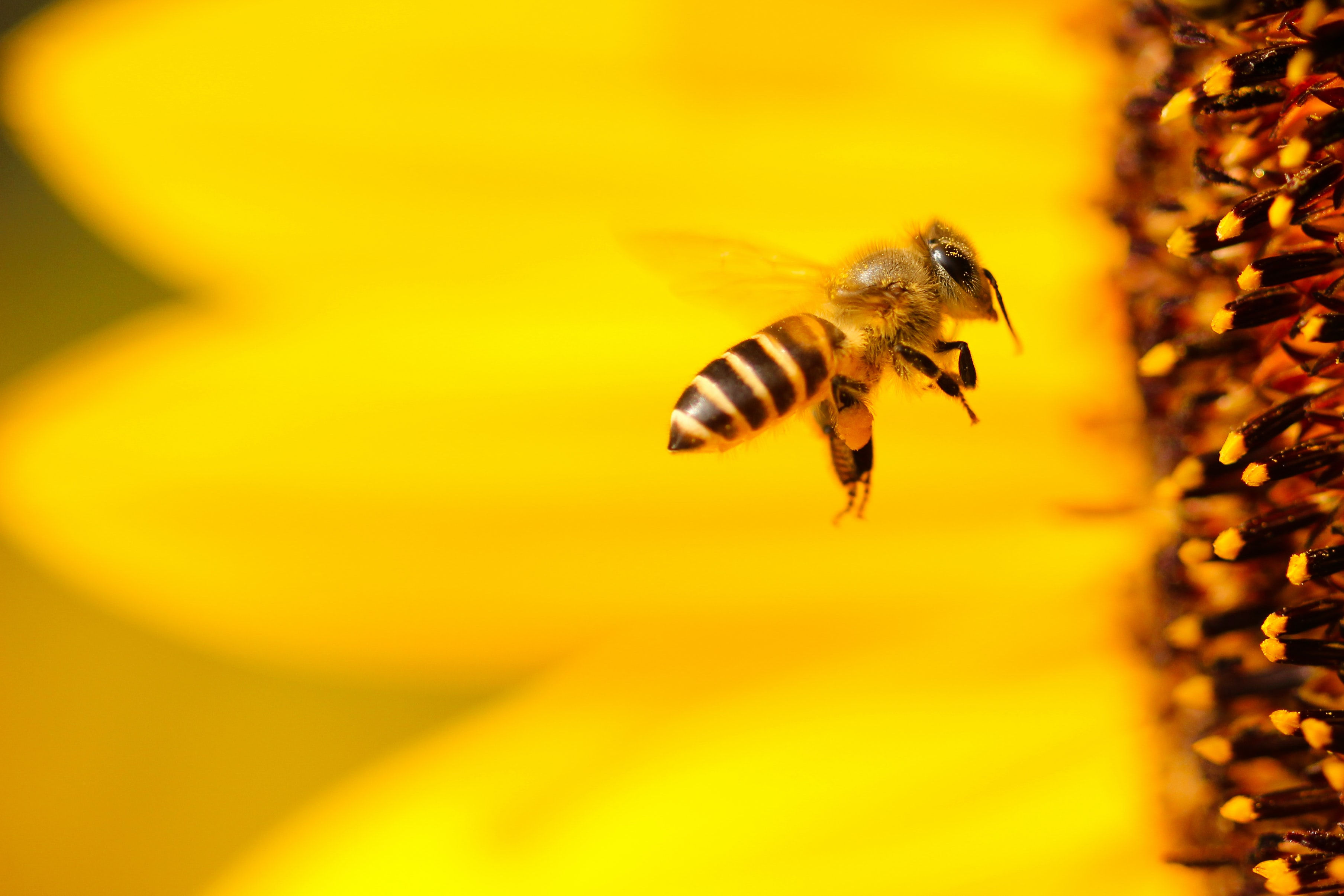 World Bee Day: The Buzz About European Honey Bees