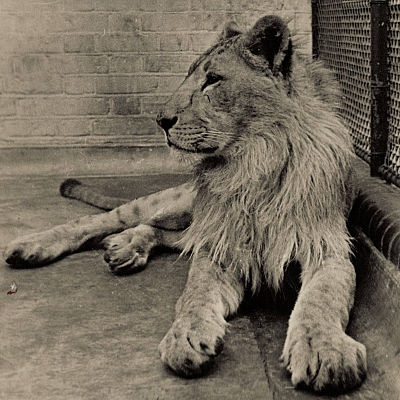 Meet the Lion Who Came To Stay